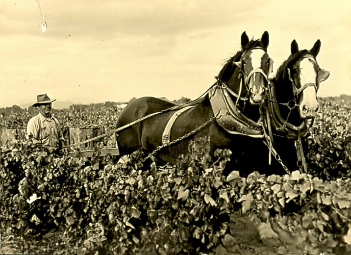 Men & Horses Working in Vineyard- 1920's